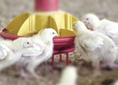 Modernizare abator pasăre
