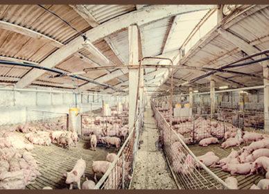 Înființare fermă porc gras