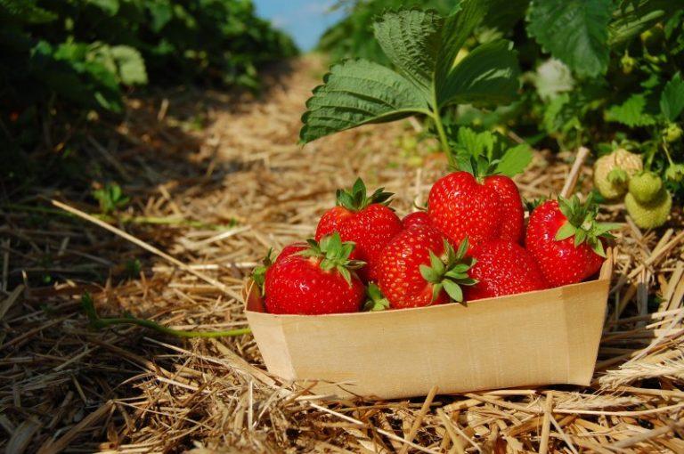 Replantarea căpșunului: După cât timp trebuie înlocuite plantele de căpșun ?