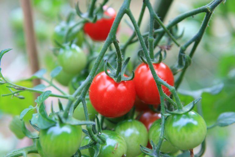 Ministerul Agriculturii a plătit anul trecut peste 23 de milioane de euro către 8.024 de beneficiari ai programului de tomate româneşti
