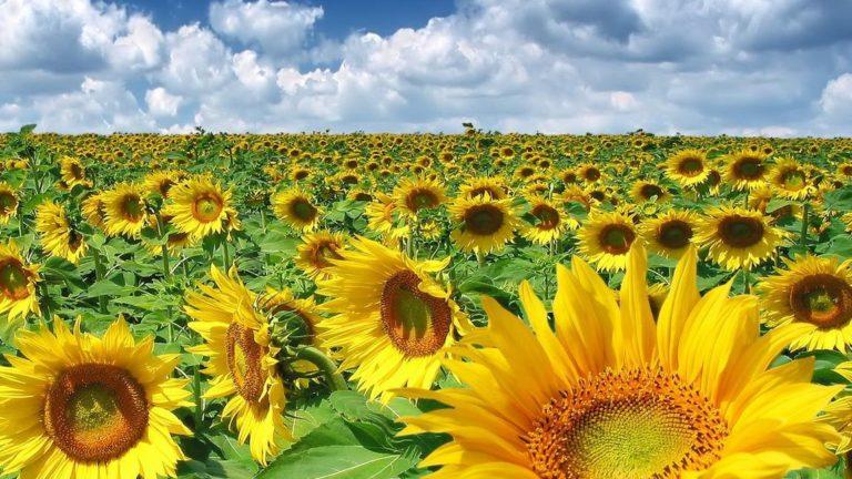 Noua tendință din ferme: Comenzile pentru sămânța de porumb și floarea soarelui se fac încă din toamnă