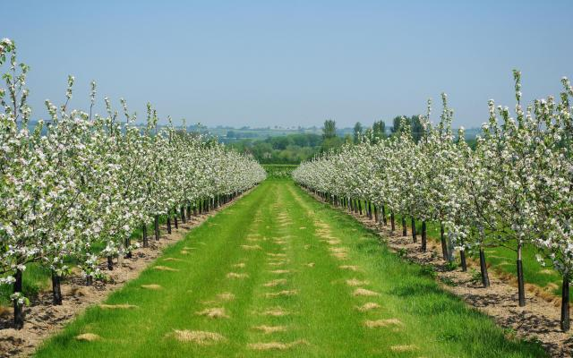 Producția de fructe, înjumătățită de gerul din aprilie